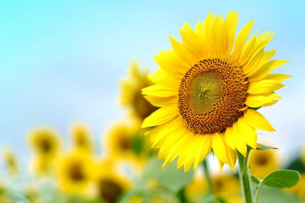 夏の演出に最適!向日葵(ひまわり)造花のおすすめ | はなどんやマガジン